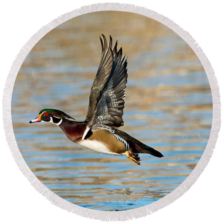 Wood Duck Round Beach Towel featuring the photograph Wood Duck Drake by Anthony Mercieca