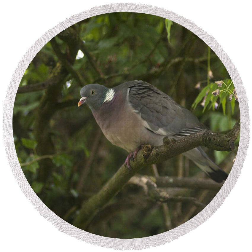 Pigeon Round Beach Towel featuring the photograph Wood Pigeon by Richard Thomas