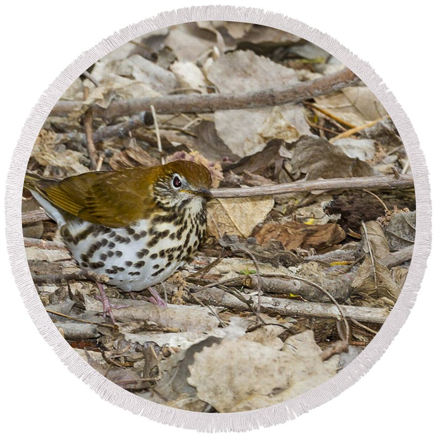 Animal Round Beach Towel featuring the photograph Wood Thrush by Jack R Perry