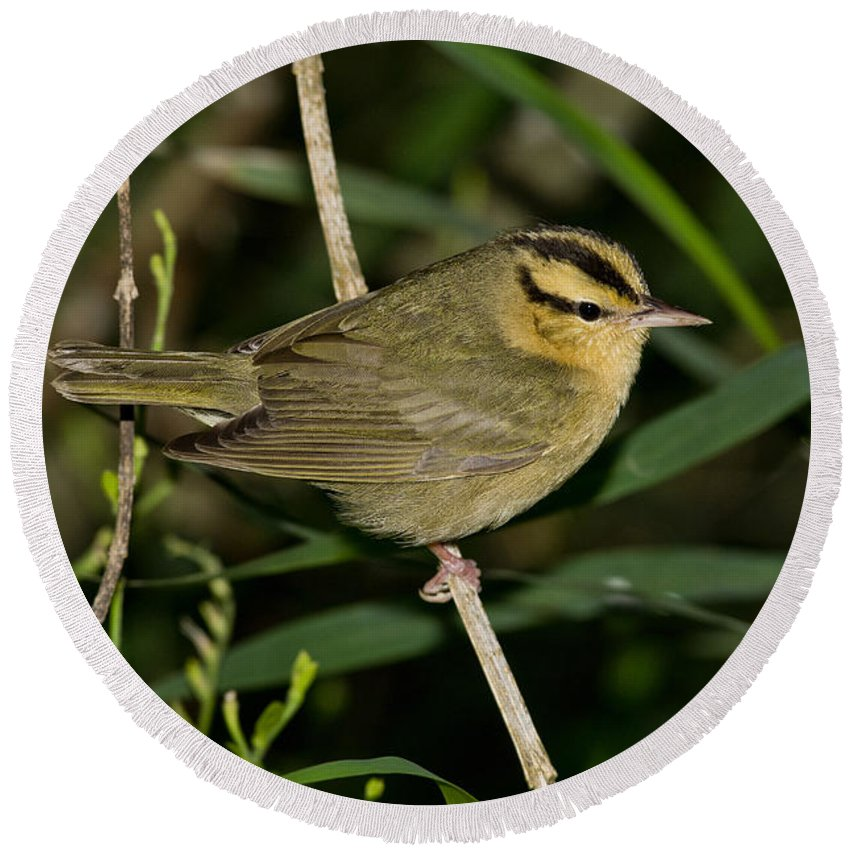 Worm-eating Warbler Round Beach Towel featuring the photograph Worm-eating Warbler by Anthony Mercieca