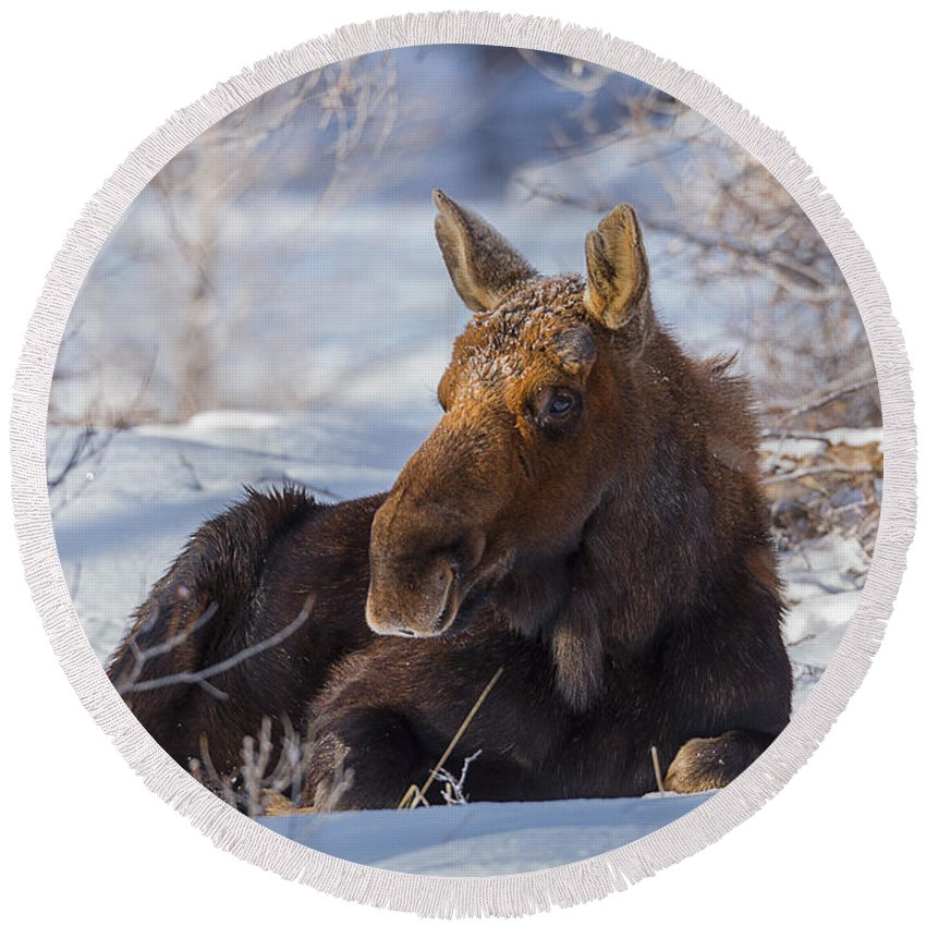 Moose Round Beach Towel featuring the photograph Wyoming Sunbathing by Jeff Shumaker