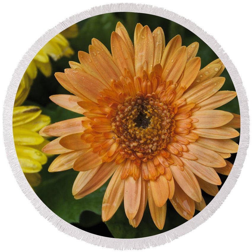 Yellow Round Beach Towel featuring the photograph Yellow And Peach Daisy by William Norton