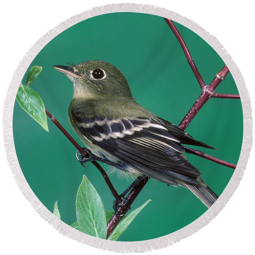 Animal Round Beach Towel featuring the photograph Yellow-bellied Flycatcher by Anthony Mercieca