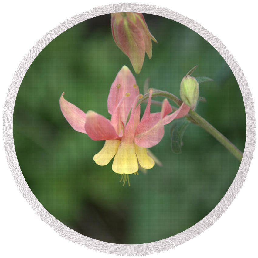 Flower Round Beach Towel featuring the photograph Yellow Columbine by Frank Madia