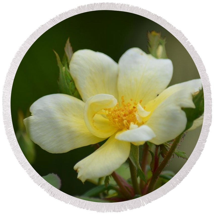 Yellow Rose 2013a Round Beach Towel featuring the photograph Yellow Rose 2013a by Maria Urso
