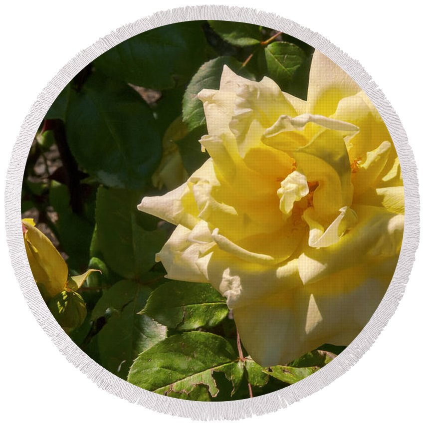 Botanical Gardens Christchurch New Zealand Yellow Rose Roses Bud Buds Leaf Leaves Flower Flowers Bloom Blooms Round Beach Towel featuring the photograph Yellow Rose And Bud by Bob Phillips