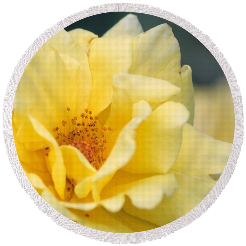 Rose Round Beach Towel featuring the photograph Yellow Rose Macro by Carol Groenen