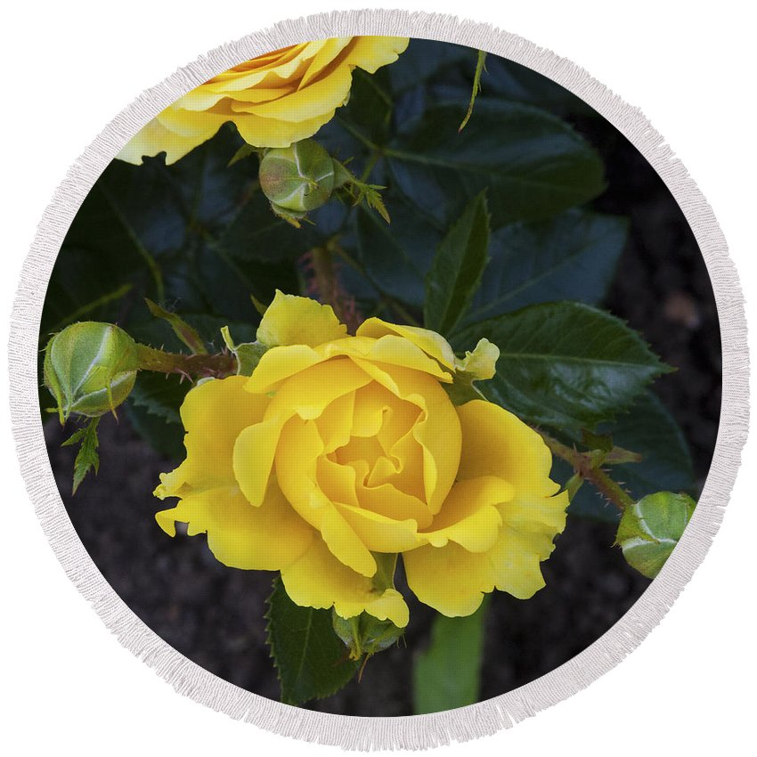 Rose.roses Round Beach Towel featuring the photograph Yellow Roses by Diane Macdonald