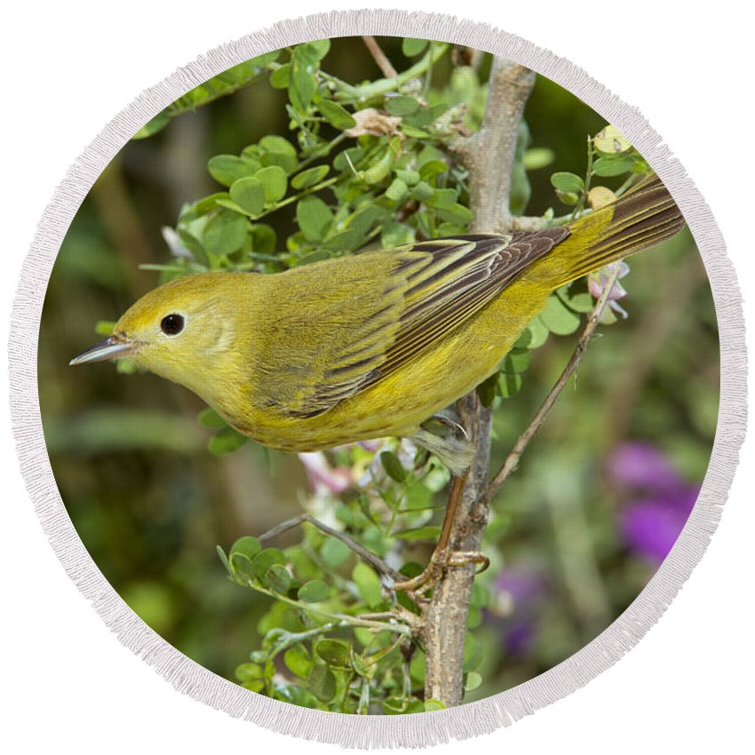 Yellow Warbler Round Beach Towel featuring the photograph Yellow Warbler Hen by Anthony Mercieca