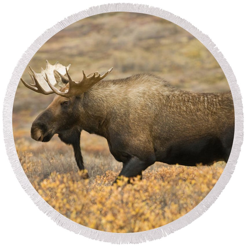 Animal Round Beach Towel featuring the photograph Young Bull Moose by Ron Sanford