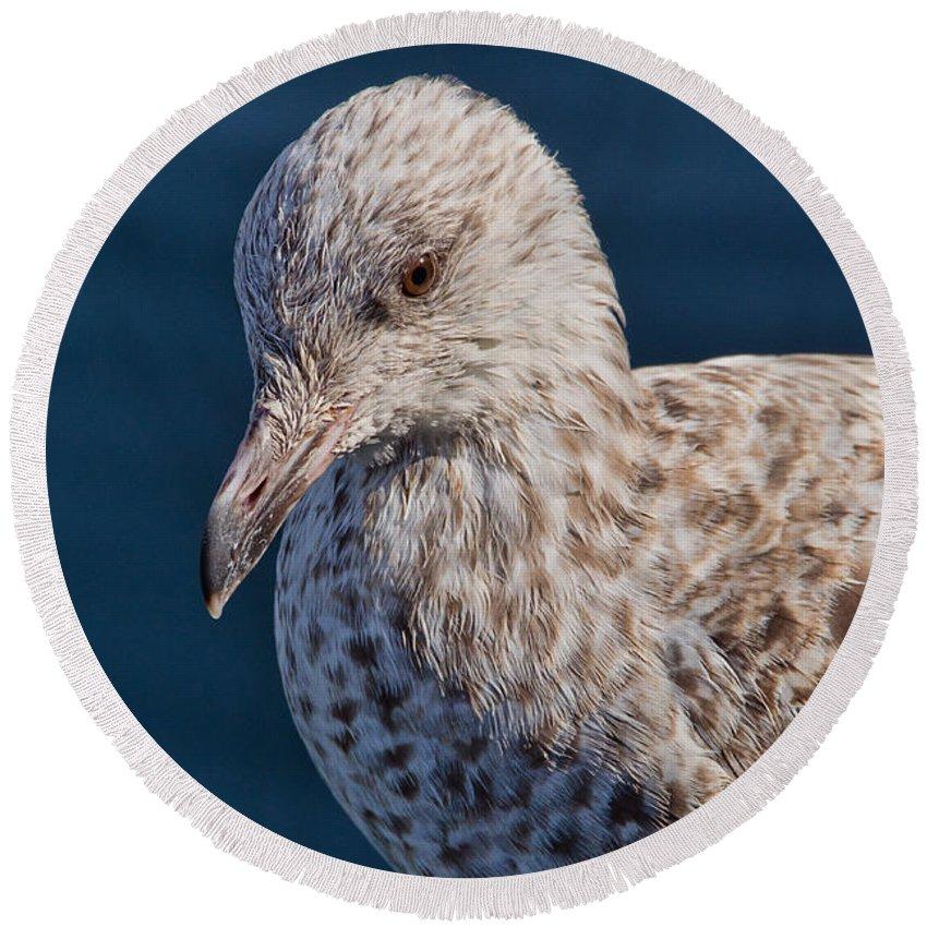 Herring Gull Round Beach Towel featuring the photograph Young Herring Gull by Susie Peek