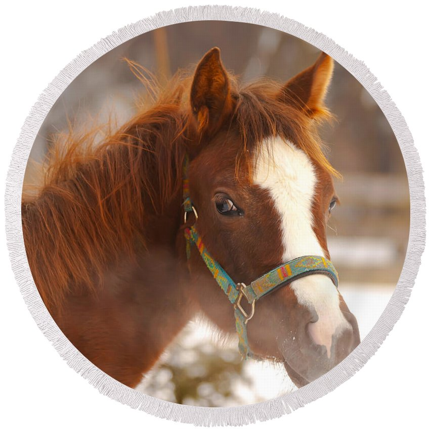 Animal Round Beach Towel featuring the photograph Young Horse In Winter Day by Jaroslav Frank