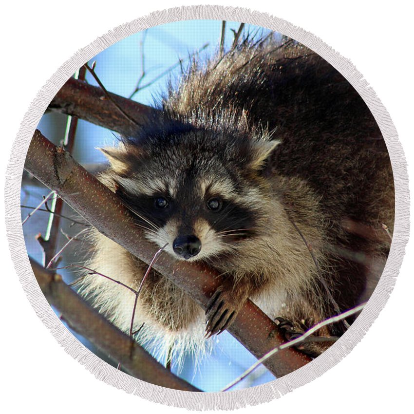 Wildlife Round Beach Towel featuring the photograph Young Raccoon In Birch Tree by Karen Adams