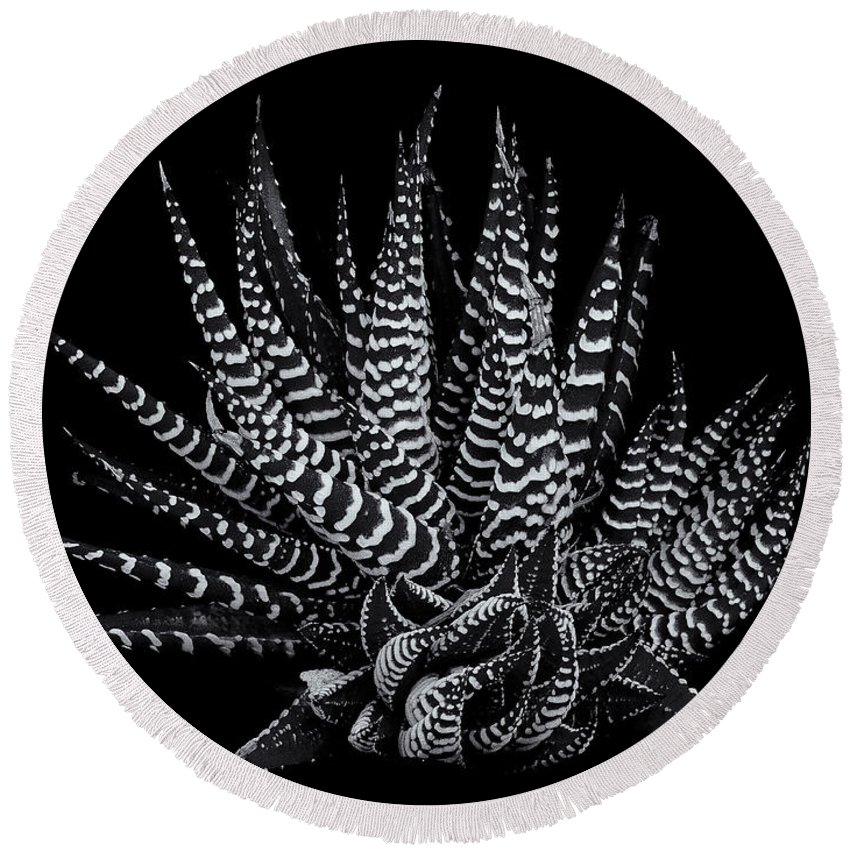 Succulent;black & White Round Beach Towel featuring the photograph Zebra Succulent by Robert Woodward