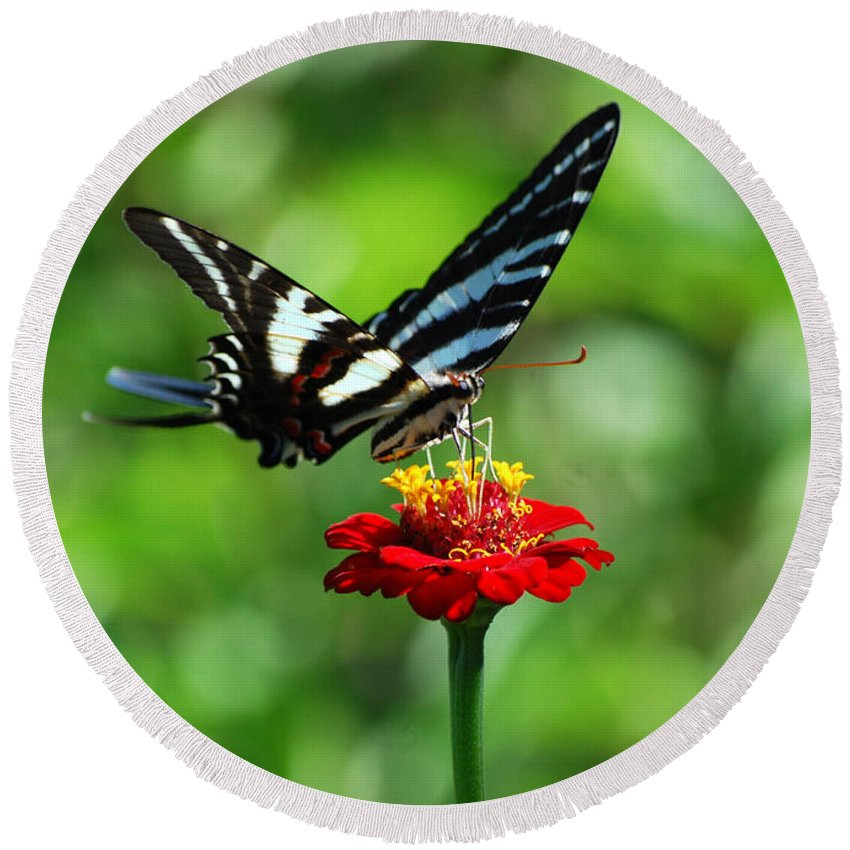 Zebra Swallowtail Round Beach Towel featuring the photograph Zebra Swallowtail Butterfly On A Red Zinnia by Catherine Sherman