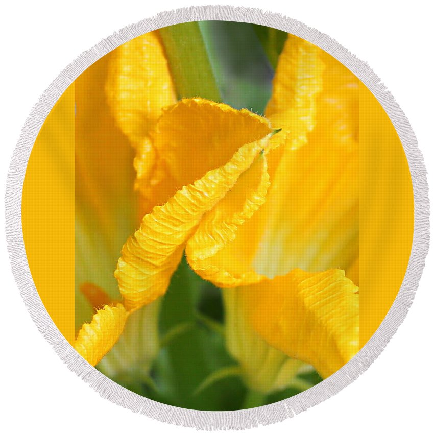 Zucchini Flowers Round Beach Towel featuring the photograph Zucchini Flowers In May by Kume Bryant