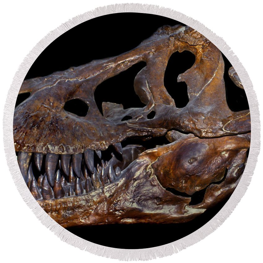 Black Background Round Beach Towel featuring the photograph A Genuine Fossilized Skull Of A T. Rex by Mark Stevenson
