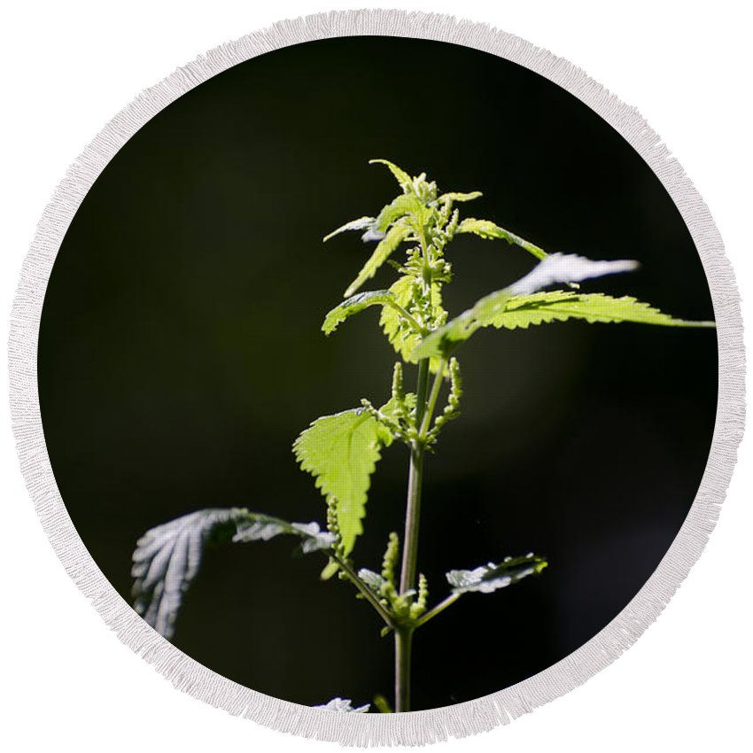 Burning Nettle Round Beach Towel featuring the photograph Burning Nettle by Mats Silvan