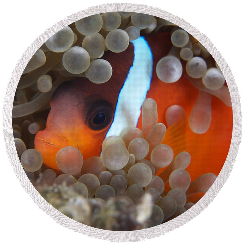 Amphiprion Melanopus Round Beach Towel featuring the photograph Cinnamon Clownfish In Its Host Anemone by Terry Moore
