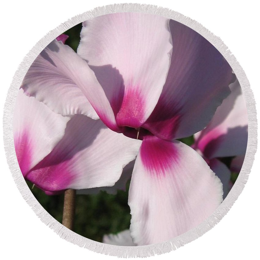 Cyclamen Round Beach Towel featuring the photograph Cyclamen Named Victoria by J McCombie