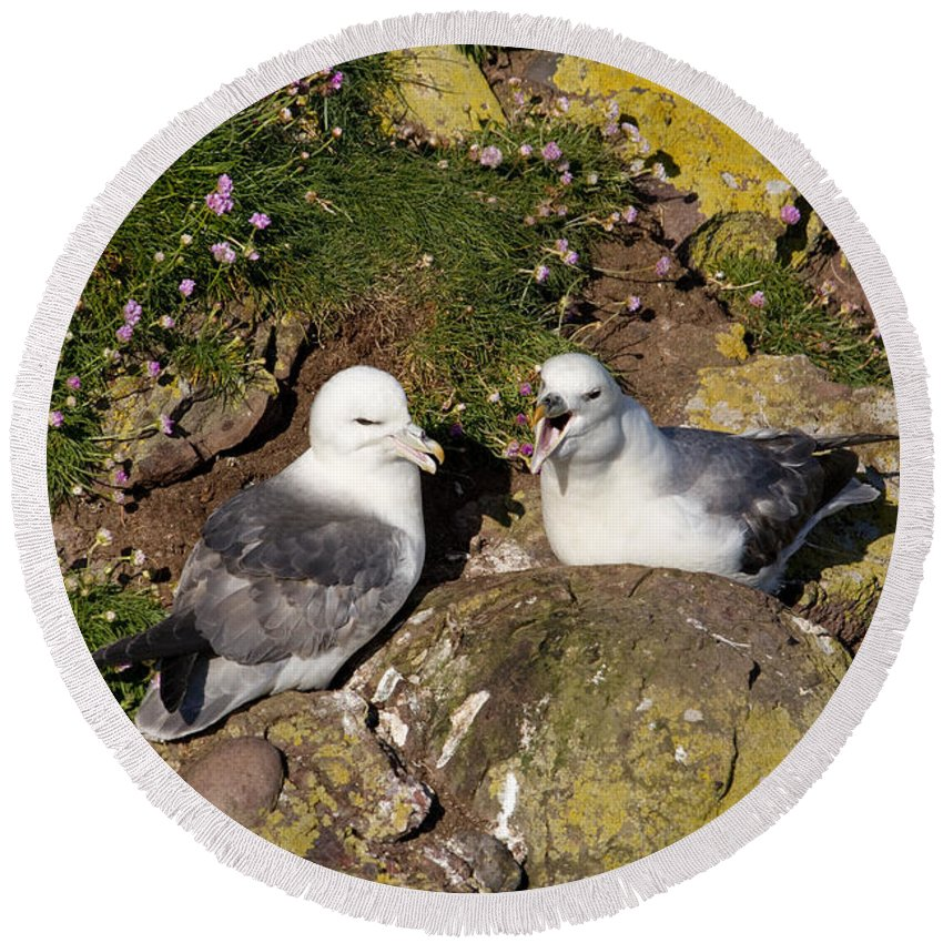 Fulmarus Glacialis Round Beach Towel featuring the photograph Fulmar Pair Bonding by Howard Kennedy