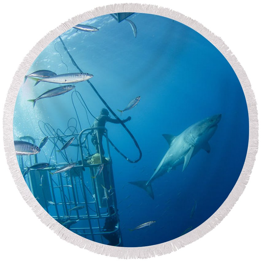 Carcharodon Carcharias Round Beach Towel featuring the photograph Male Great White Shark And Divers by Todd Winner
