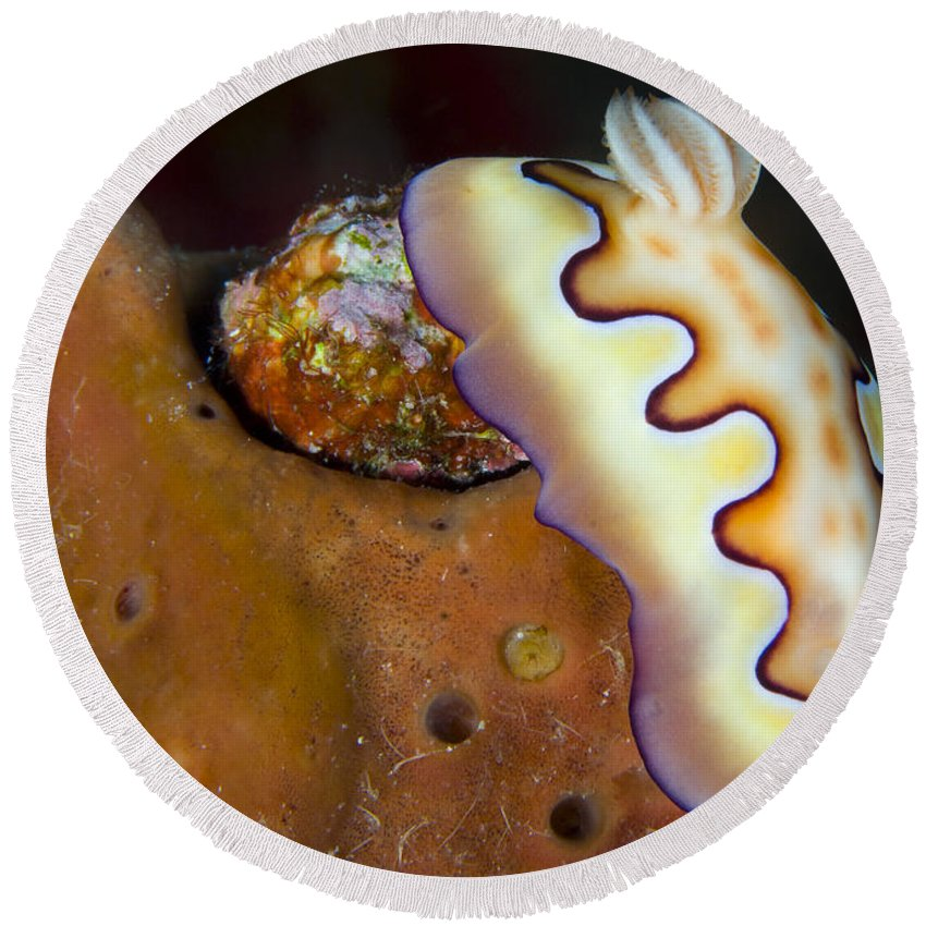 Chromodoris Coi Round Beach Towel featuring the photograph Nudibranch On Orange Sponge, Kimbe Bay by Steve Jones