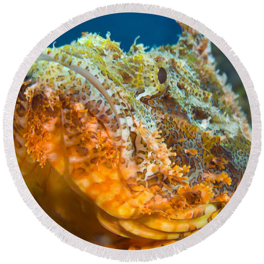 Osteichthyes Round Beach Towel featuring the photograph Papuan Scorpionfish Lying On A Reef by Steve Jones