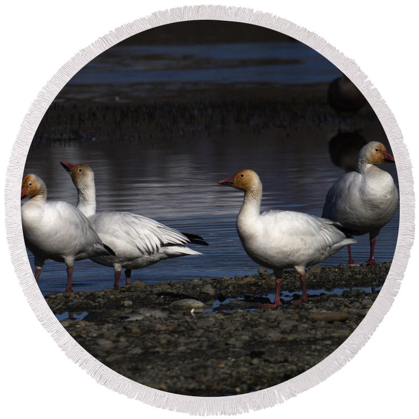 Alaska Round Beach Towel featuring the photograph Snow Geese by Doug Lloyd