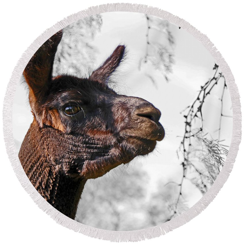 Mini Round Beach Towel featuring the photograph Alpaca - The Great Black Jack Sparrow by Rebecca Morgan