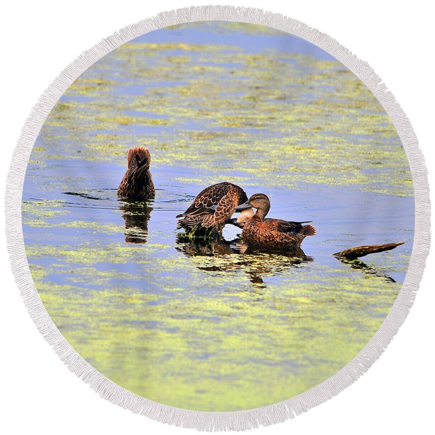 Duck Round Beach Towel featuring the photograph Three Of A Kind by Al Powell Photography USA