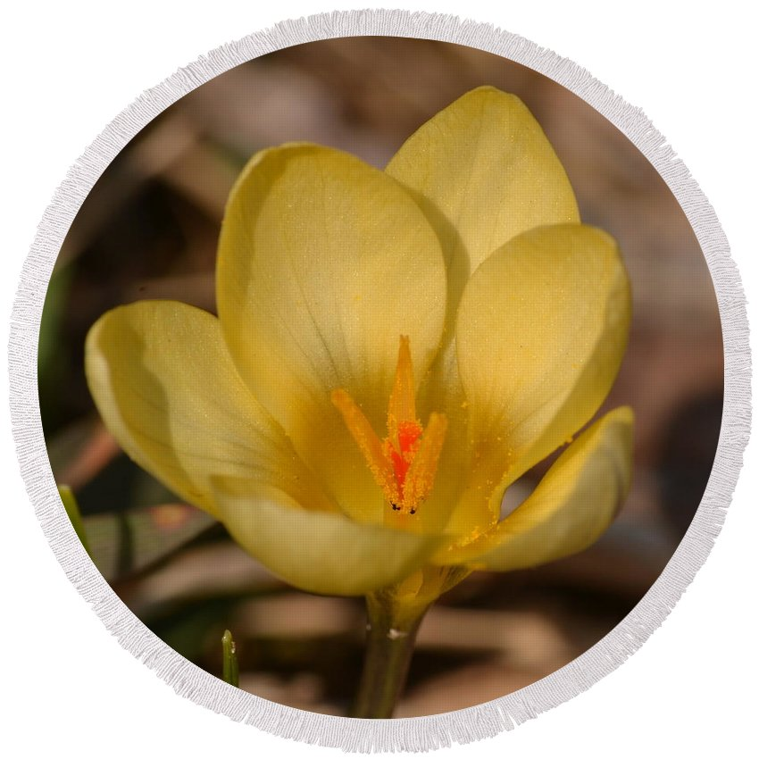J.d. Grimes Round Beach Towel featuring the photograph Yellow Crocus by JD Grimes