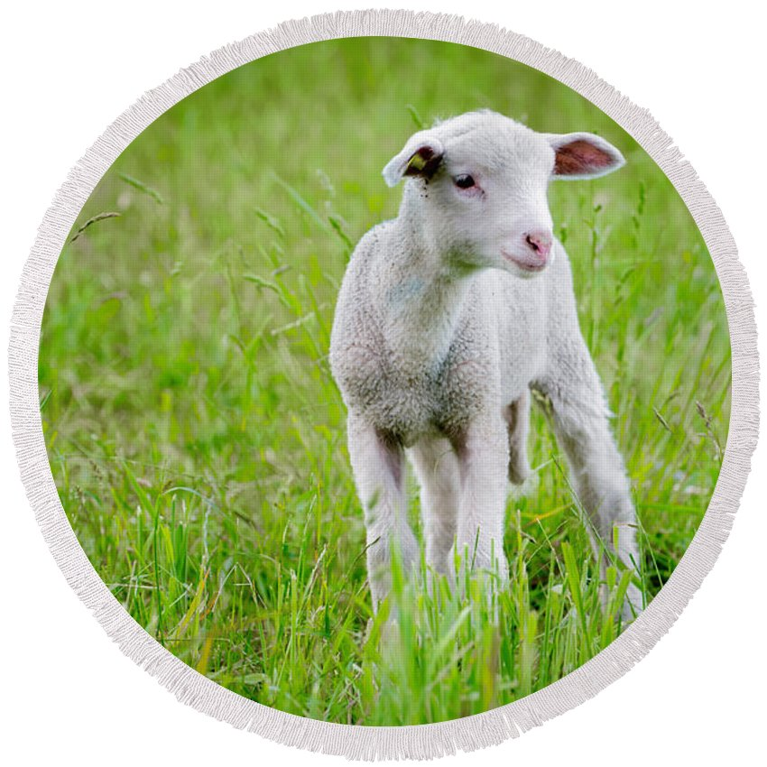 Sheep Round Beach Towel featuring the photograph Young Sheep by Mats Silvan
