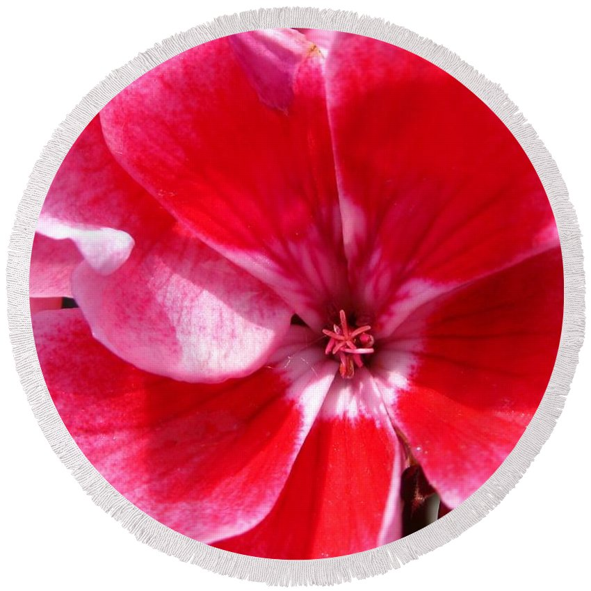 Zonal Geranium Round Beach Towel featuring the photograph Zonal Geranium Named Candy Fantasy Kiss by J McCombie