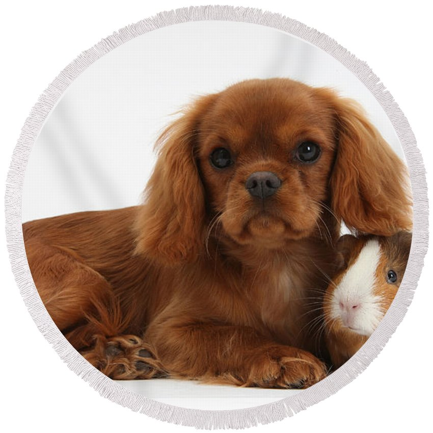 Nature Round Beach Towel featuring the photograph Ruby Cavalier King Charles Spaniel Pup by Mark Taylor