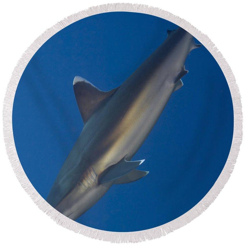 Carcharhinus Albimarginatus Round Beach Towel featuring the photograph Silvertip Shark, Kimbe Bay, Papua New by Steve Jones