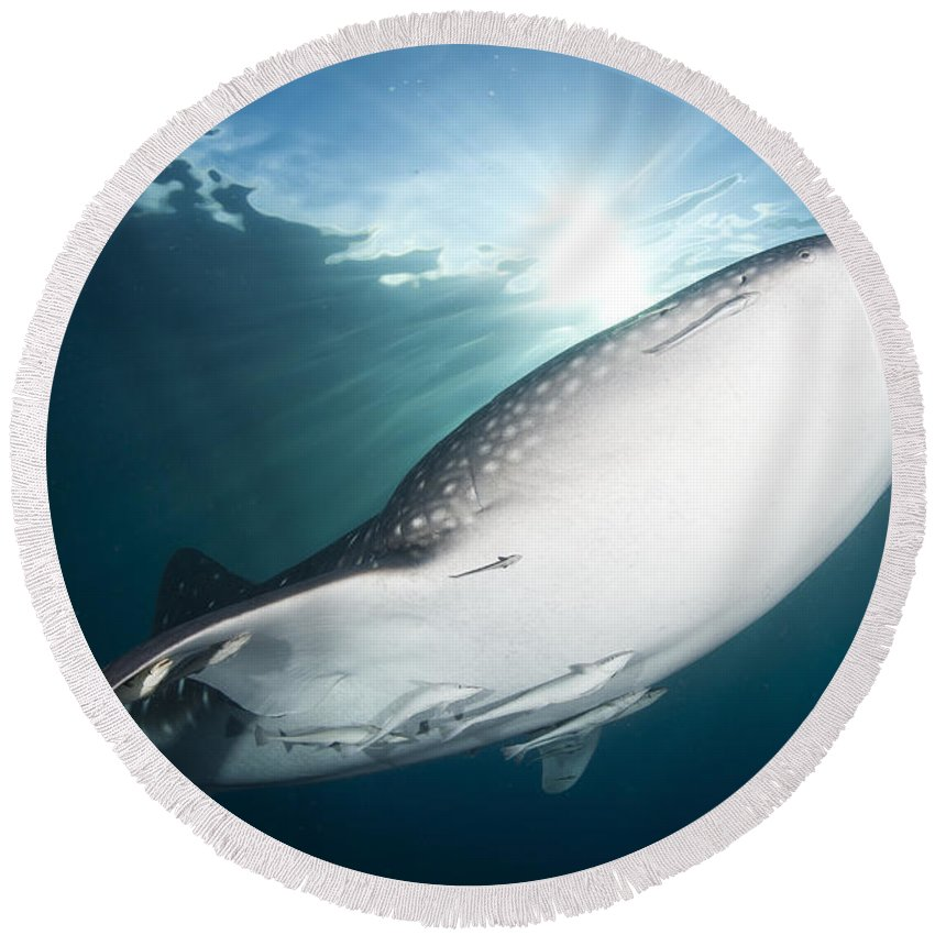 Symbiotic Relationship Round Beach Towel featuring the photograph Whale Shark Feeding Under Fishing by Steve Jones