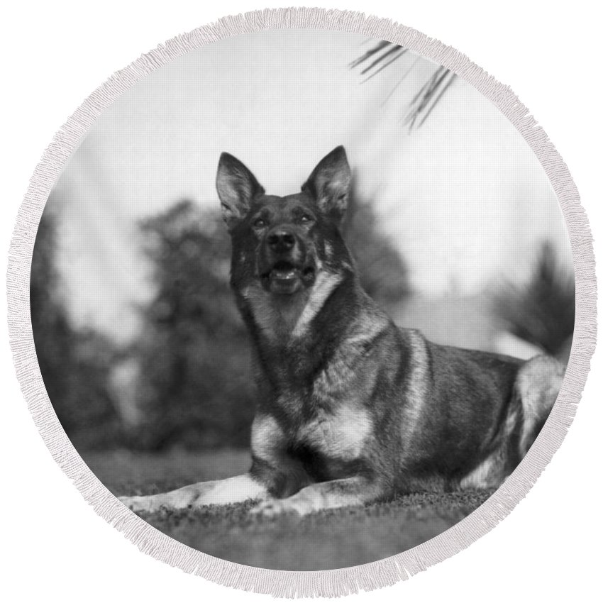 1920s Round Beach Towel featuring the photograph Rin-tin-tin (1916-1932) by Granger