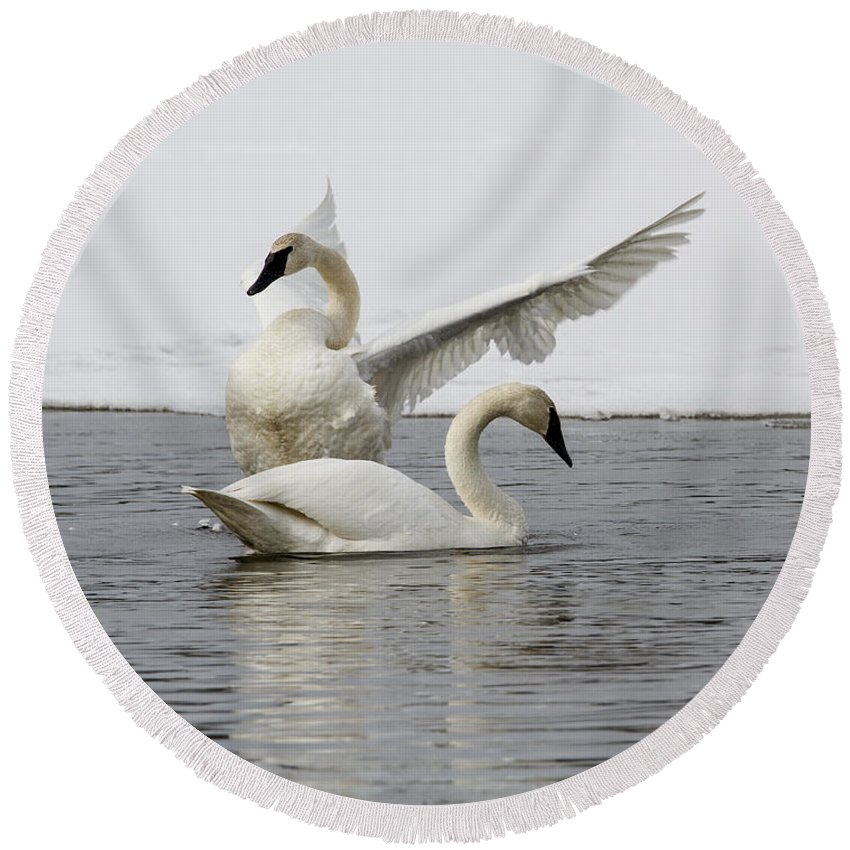Doug Lloyd Round Beach Towel featuring the photograph Trumpeter Swans by Doug Lloyd