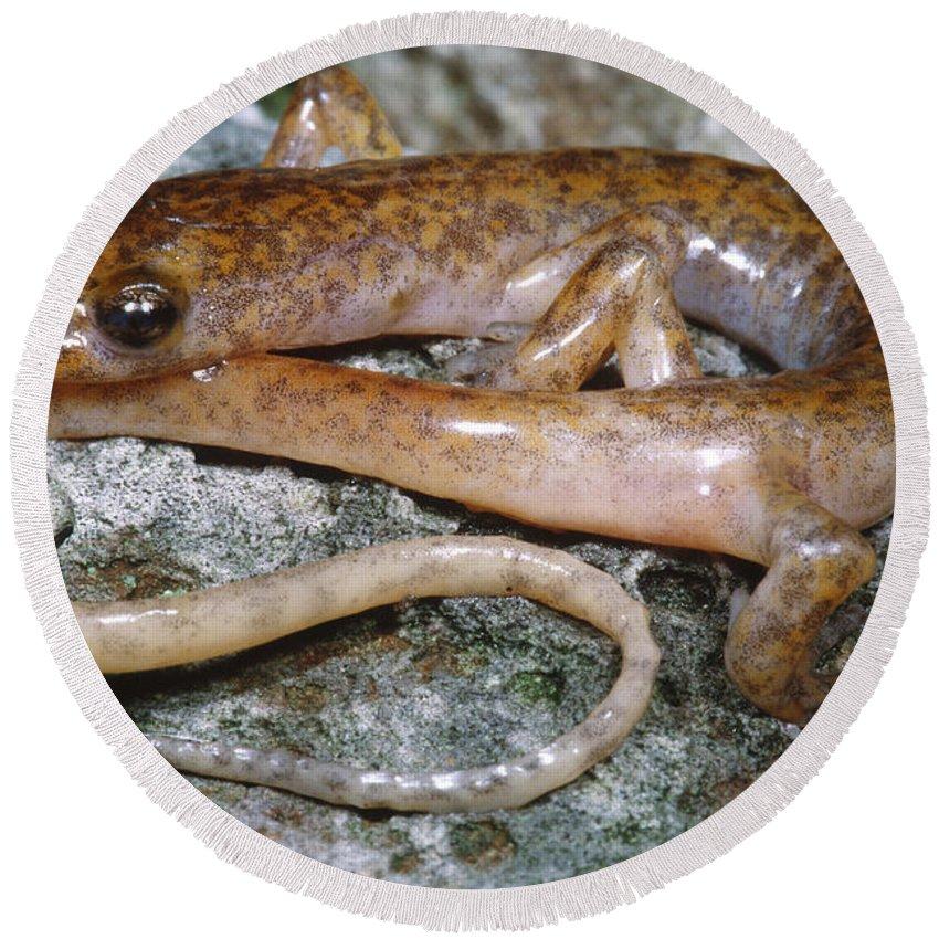 Salamanders Round Beach Towels