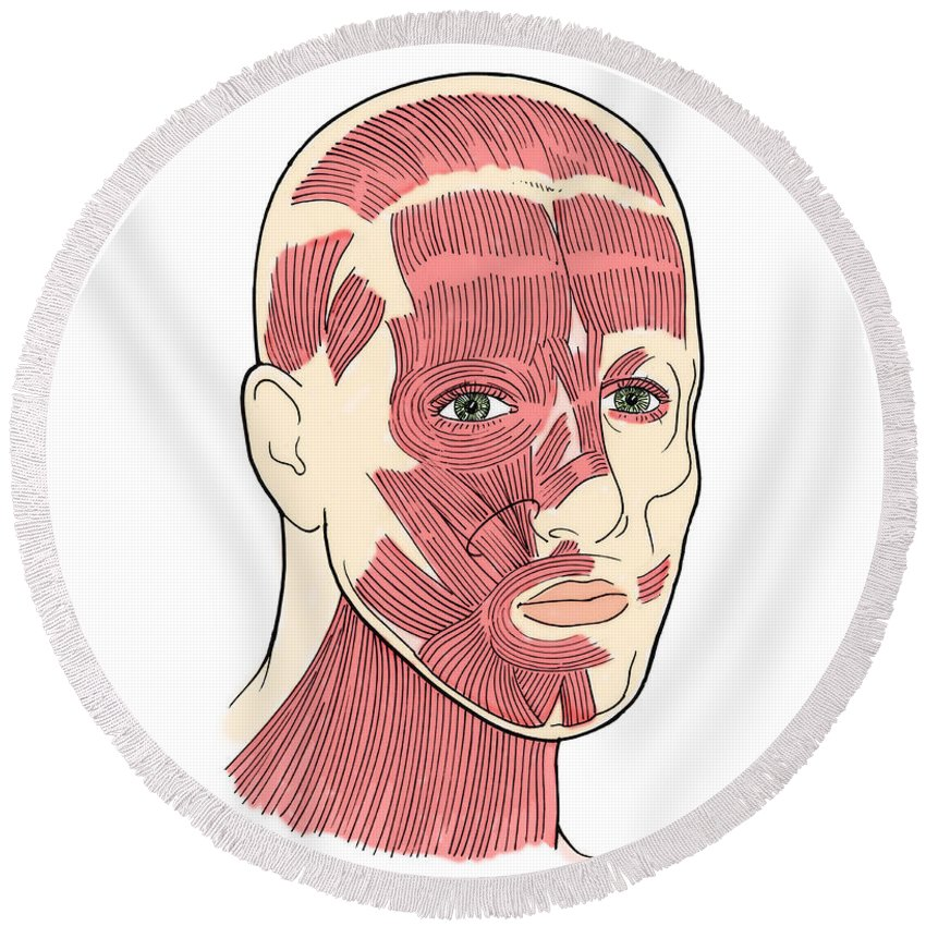 Anatomy Round Beach Towel featuring the photograph Illustration Of Facial Muscles by Science Source