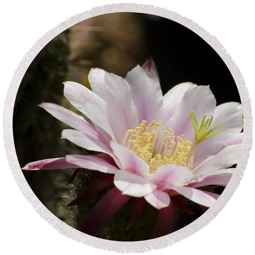 Cactus Round Beach Towel featuring the photograph Pink Cactus Flower by Jim And Emily Bush