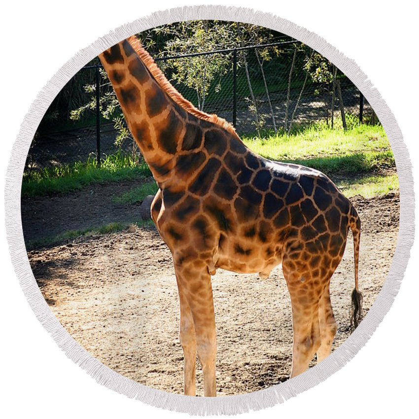 Africa Round Beach Towel featuring the photograph Baringo Giraffe by Henrik Lehnerer