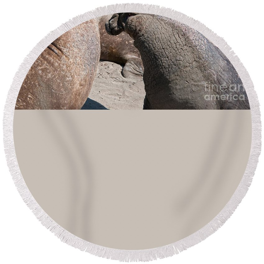 Animals Round Beach Towel featuring the digital art Elephant Seal Colony On Big Sur by Carol Ailles