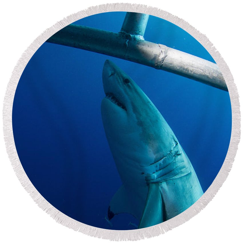 Carcharodon Carcharias Round Beach Towel featuring the photograph Male Great White Shark, Guadalupe by Todd Winner