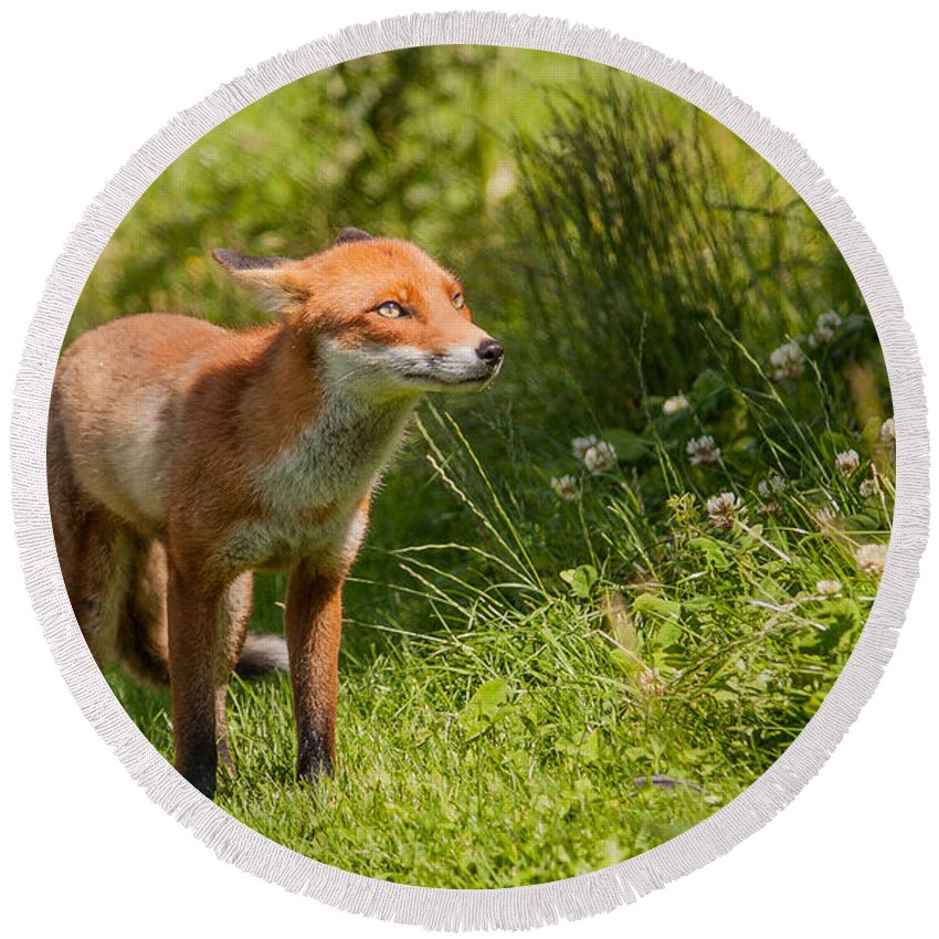 British Wildlife Centre Round Beach Towel featuring the photograph A British Red Fox by Dawn OConnor