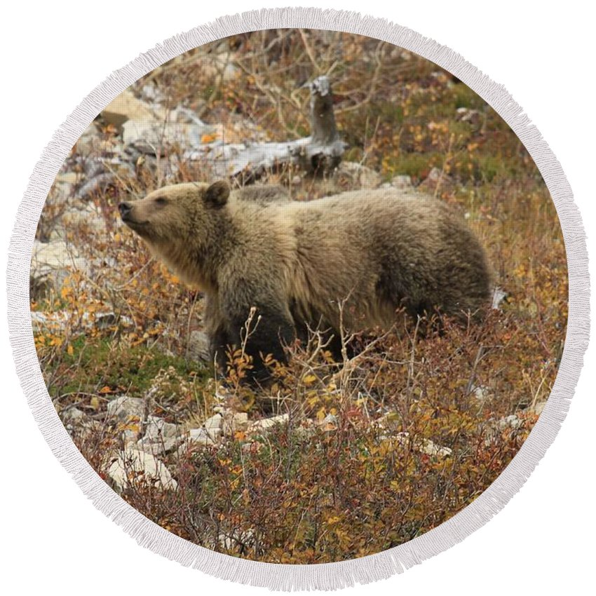 Grizzly Bear Round Beach Towel featuring the photograph A Breath Of Fresh Air by Adam Jewell