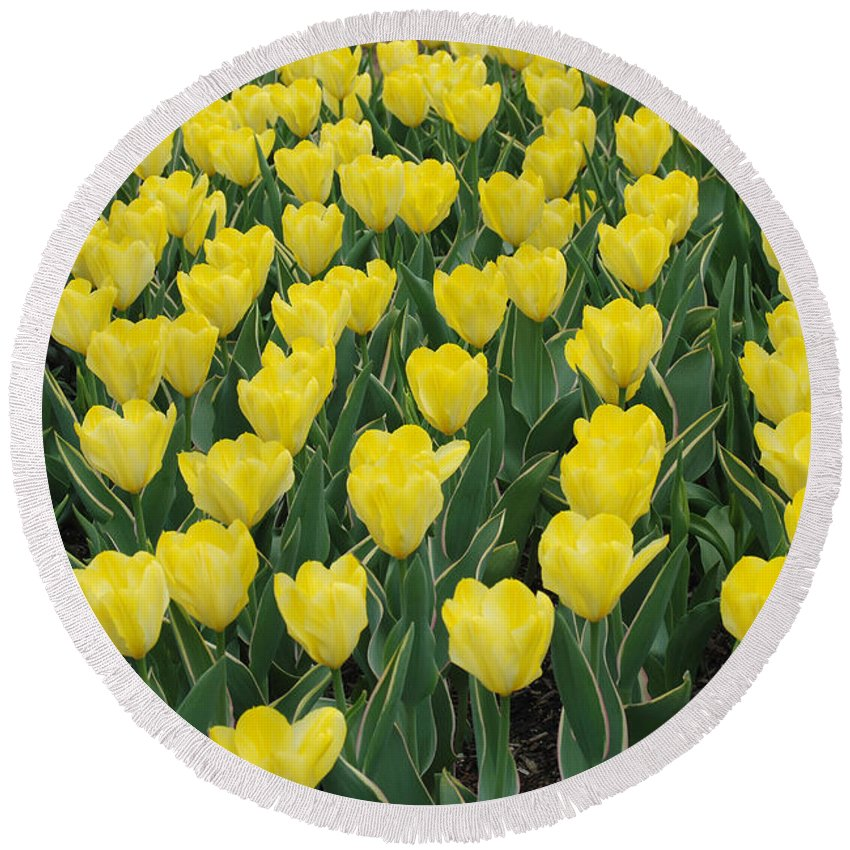 Tulip Round Beach Towel featuring the digital art A Field Of Yellow Tulips In Spring by Eva Kaufman