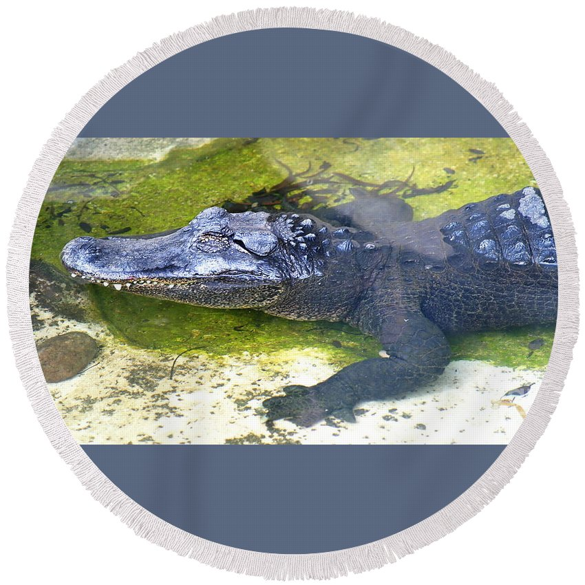 Nature Round Beach Towel featuring the photograph American Alligator by Henrik Lehnerer