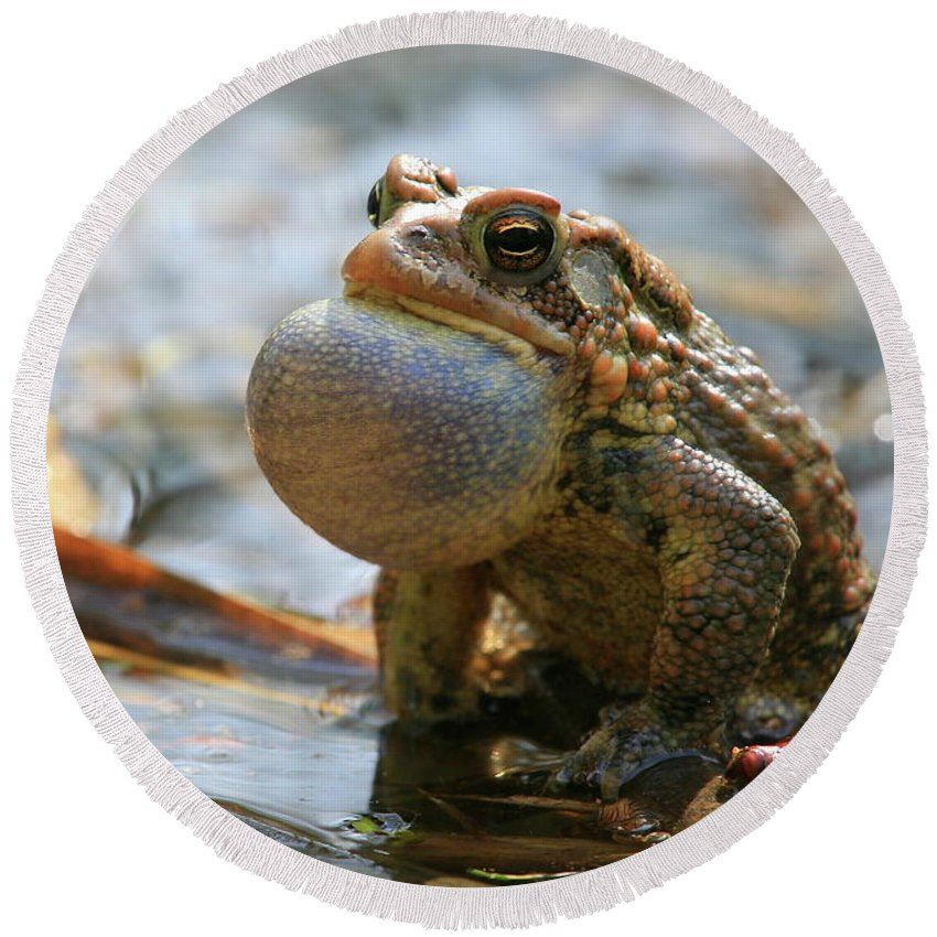 Toad Round Beach Towel featuring the photograph American Toad Croaking by Bruce J Robinson